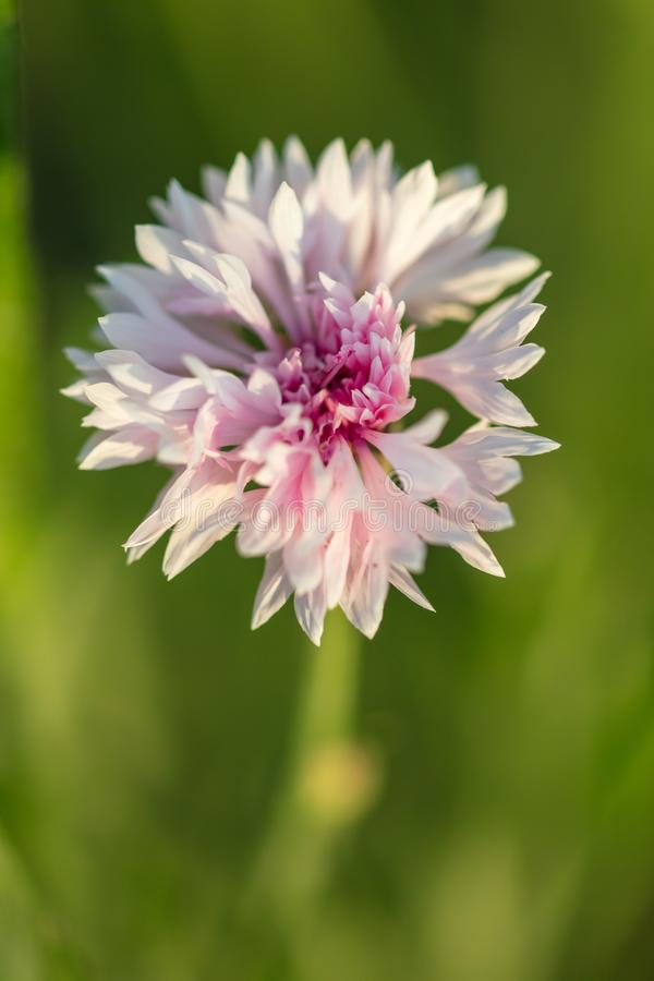 Pink flower on the grass in the park stock photography