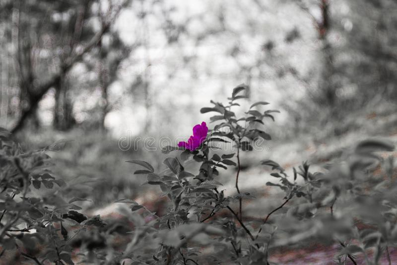 A pink flower on grayscale blurred background stock images