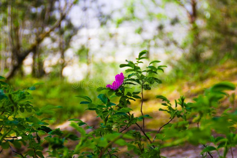 A pink flower on green blurred background stock images