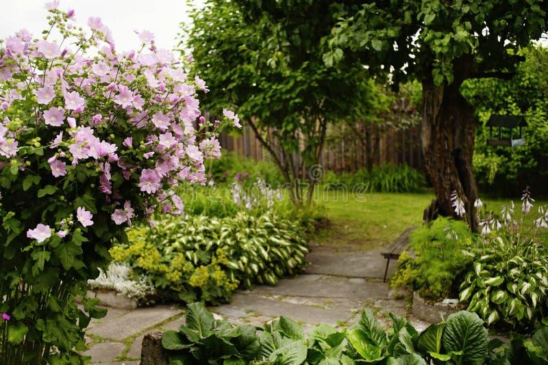 Pink flower green leaf village garden tree summer day. Pink flower mallow village garden tree summer day sunlight outdoor blossom stock photo