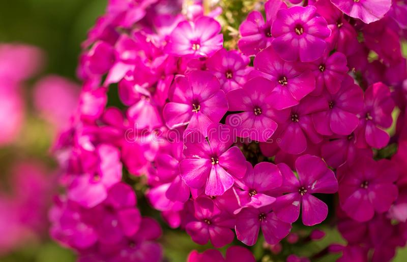 Pink flower grows in nature stock photography