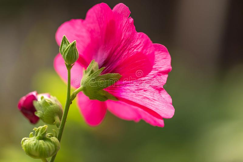 Pink flower grows in nature stock image