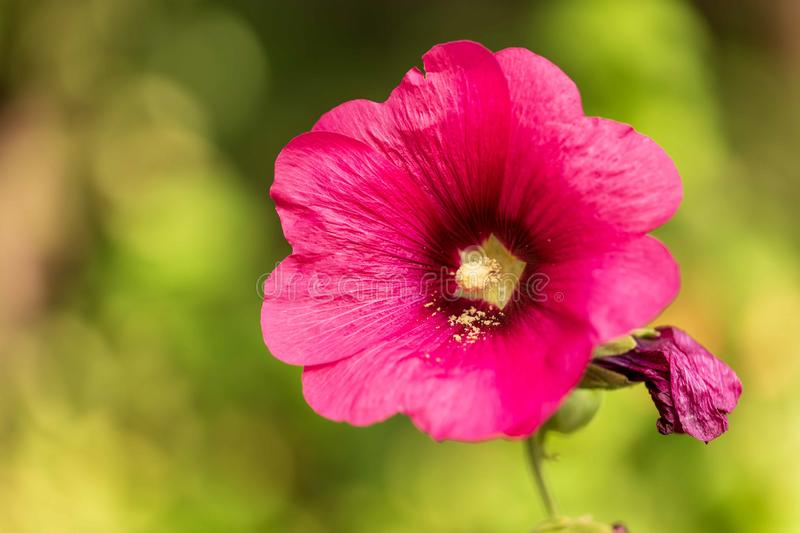 Pink flower grows in nature royalty free stock image