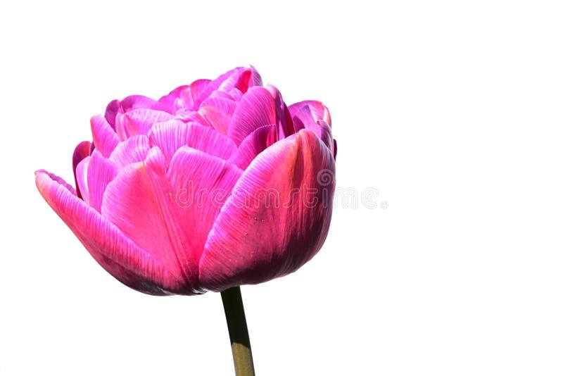 Pink flower head of tulip hybrid Blue Diamond, slightly high key style photo. White background royalty free stock photo