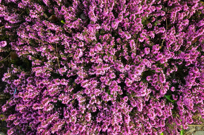 Pink flower of heather or Calluna vulgaris royalty free stock photos