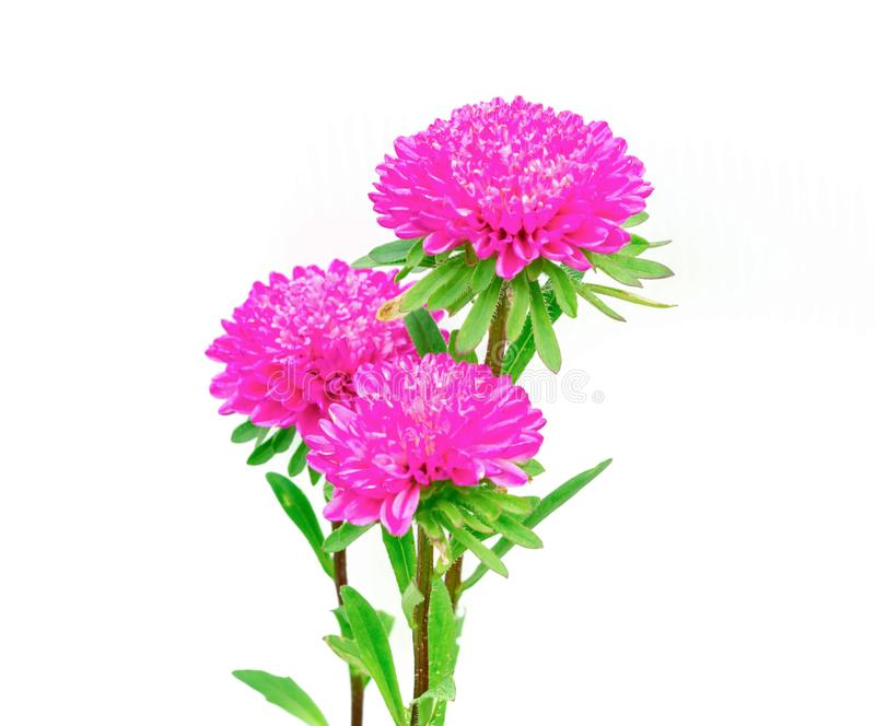 Pink flower isolated on white background.  stock images