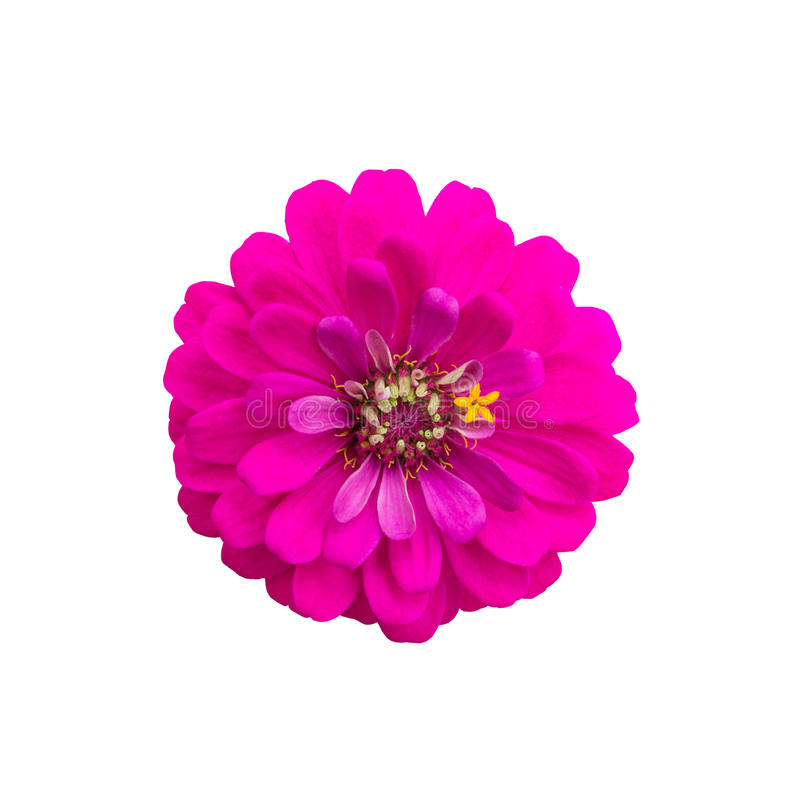 Pink flower isolated on white background stock images