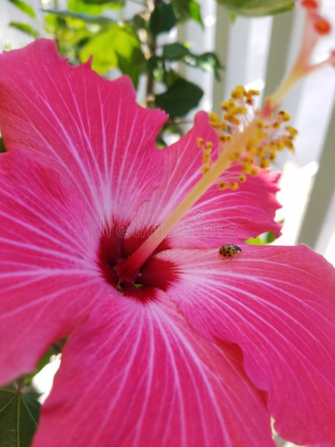 Pink flower with ladybug in the middle stock photo