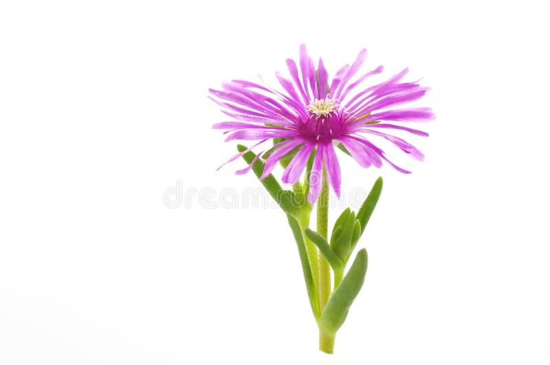 Flower of lampranthus on a white background royalty free stock image