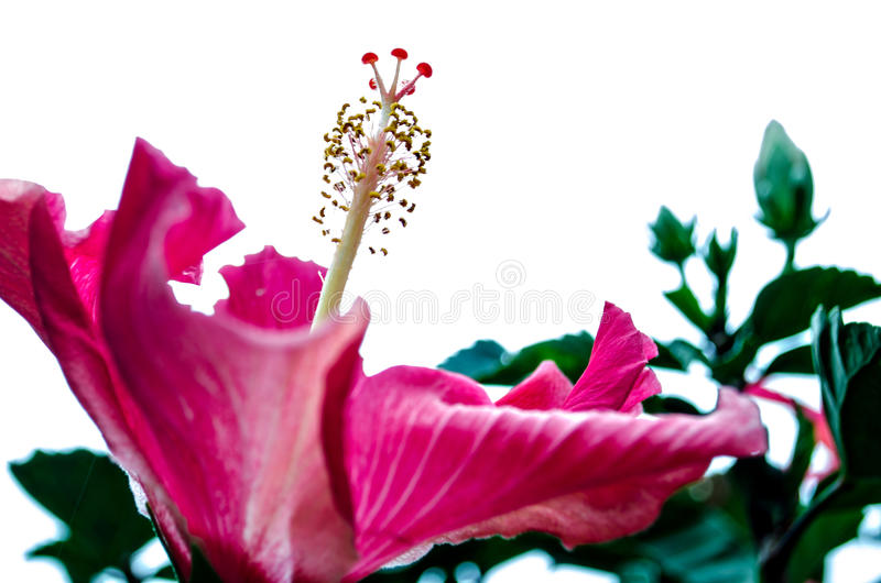 Pink Flower Large petals. A large pink flower with green leafy background stock photos