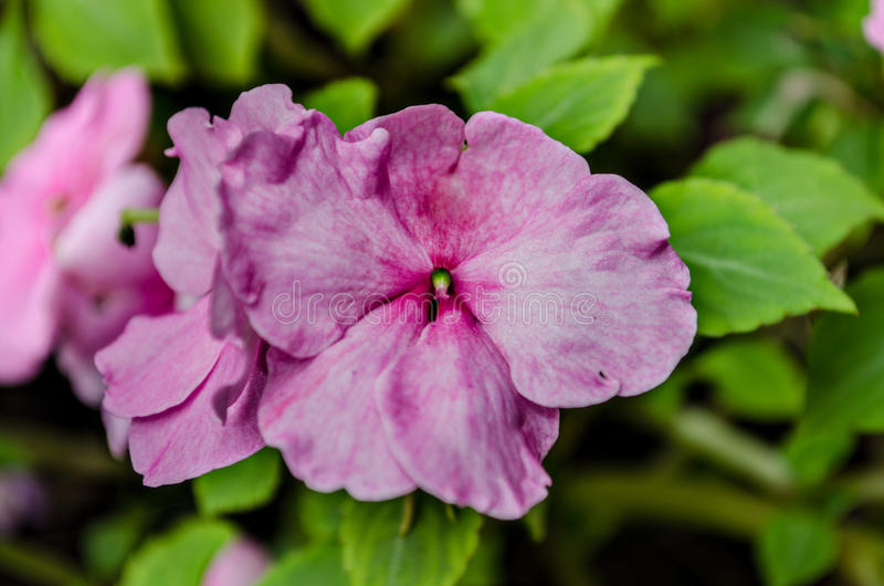 Pink Flower Large petals. A large pink flower with green leafy background royalty free stock photography