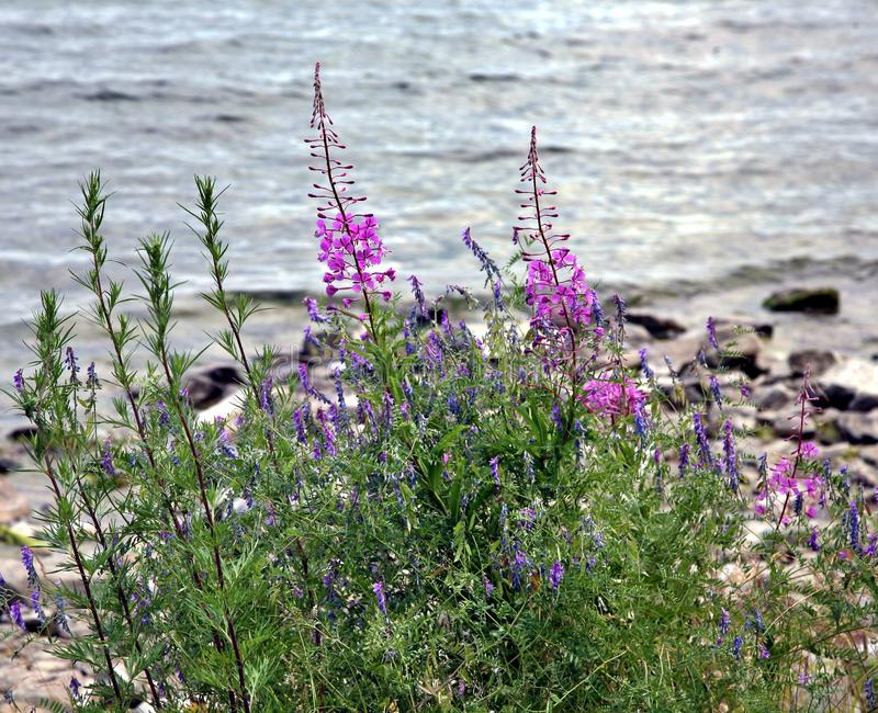 Pink flower with latin name Chamerion angostifolium. Plants bloom on the lake. Chamerion angostifolium. Pink flower blossoming in a daytime. Fireweed flower royalty free stock image