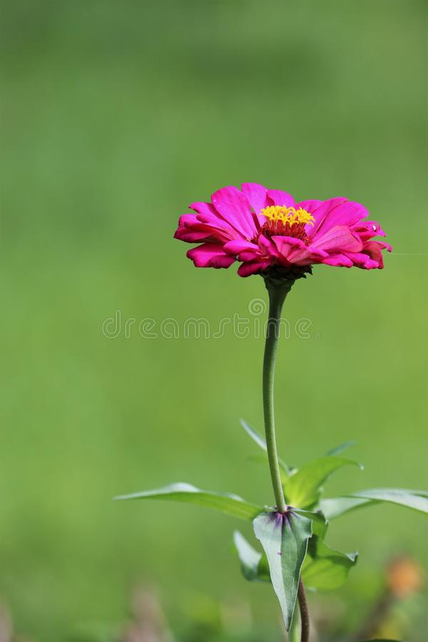 Pink flower with leaves on green background stock image stock photo