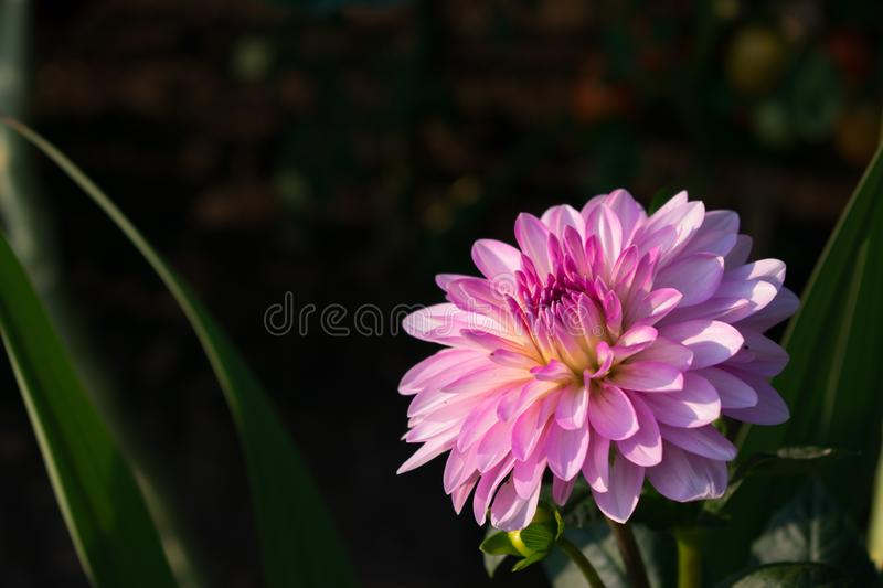 Pink flower with multiple petals at sunset royalty free stock image