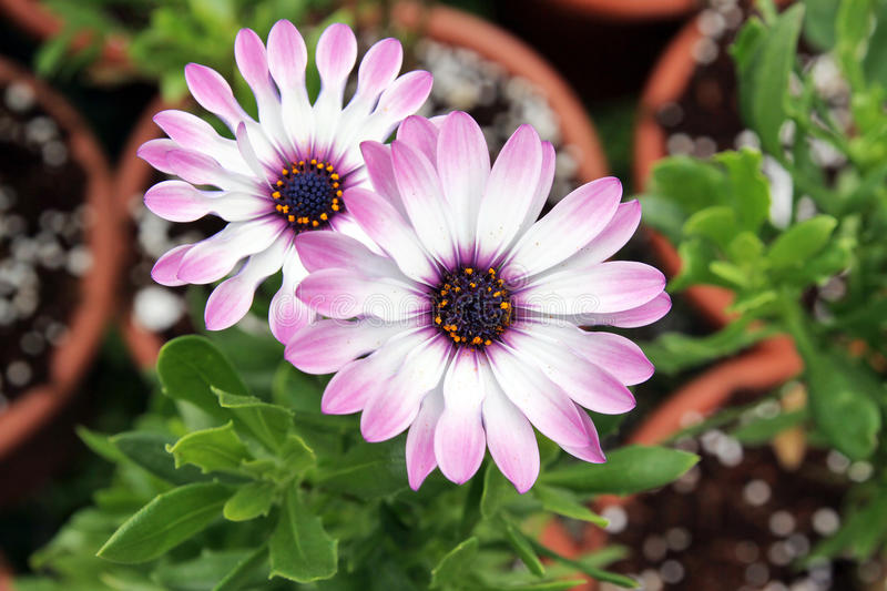 Pink flower Osteospermum stock images