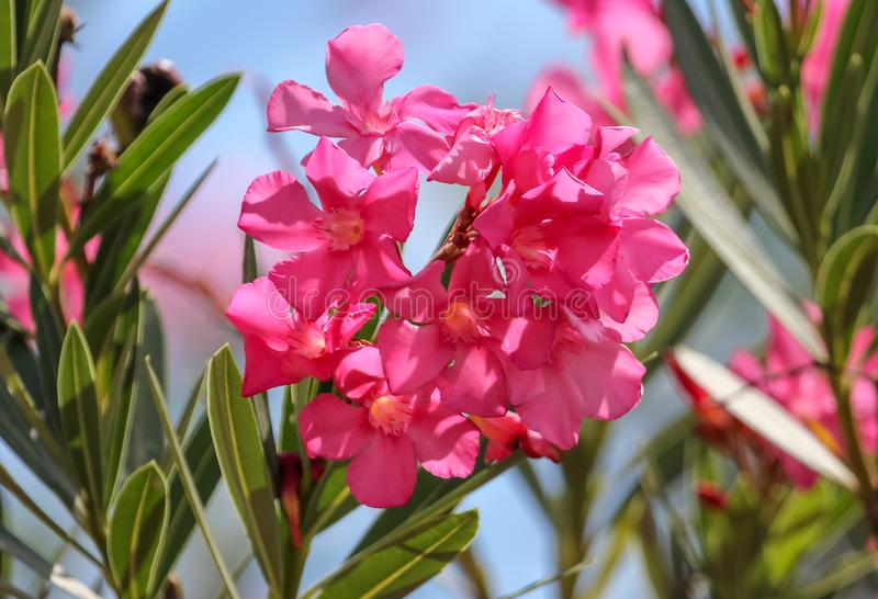 Pink flower in the park on nature stock photography