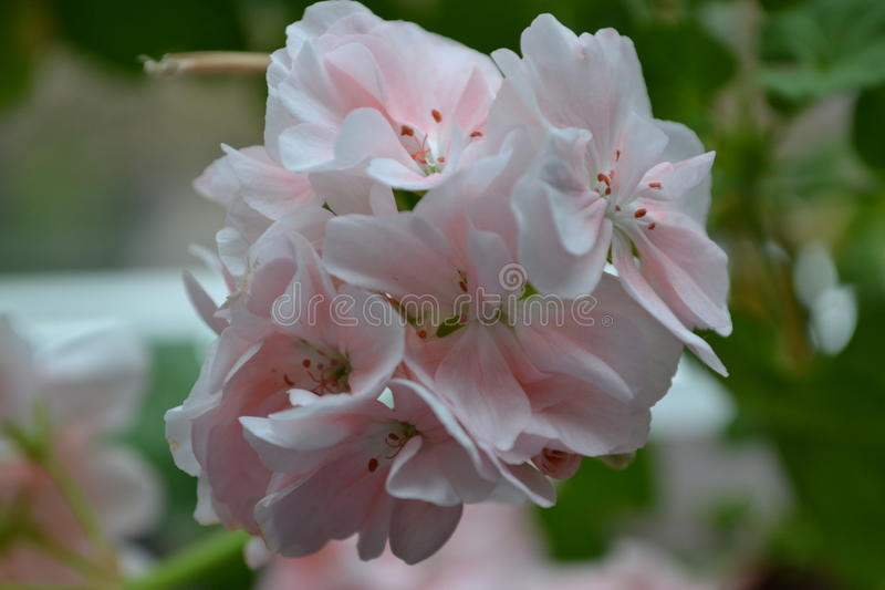 Pink flower pelargonium stock photos