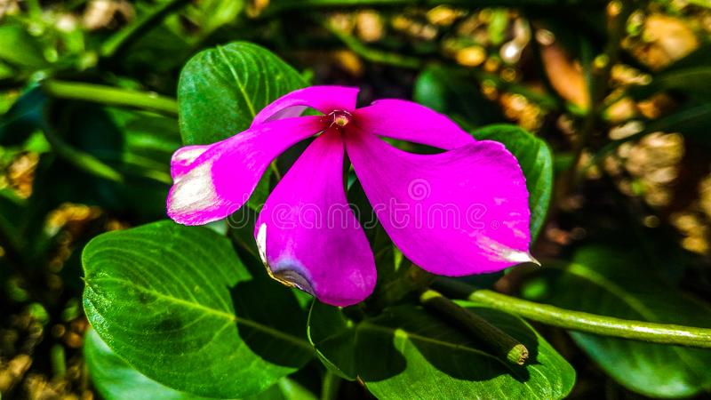 A pink flower of periwinkle stock photo