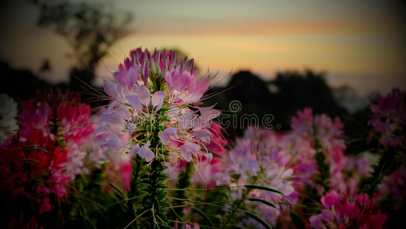 Pink flower in phu foi lom thailand stock photography