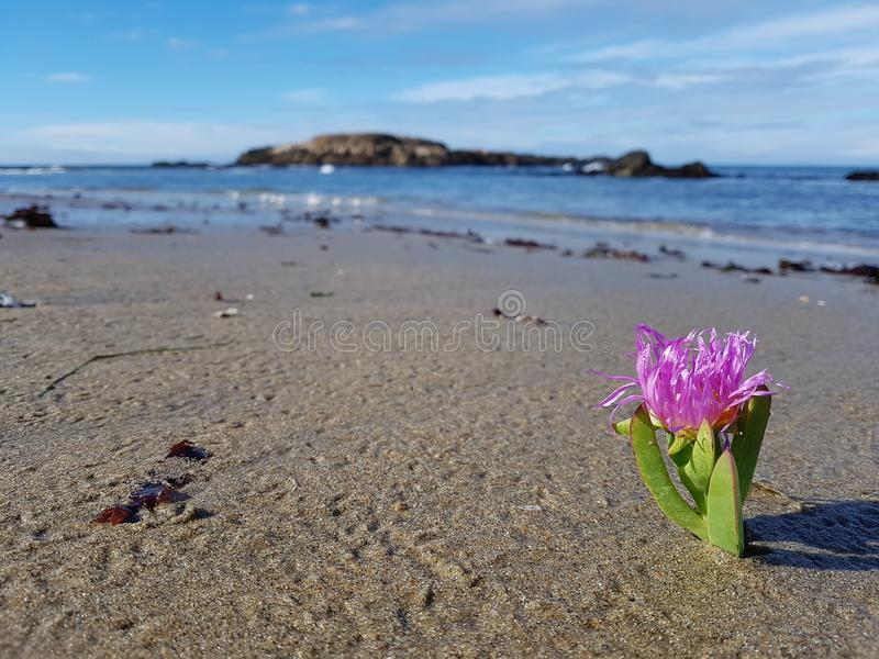 Pink flower on a beach of the californian coast royalty free stock photo