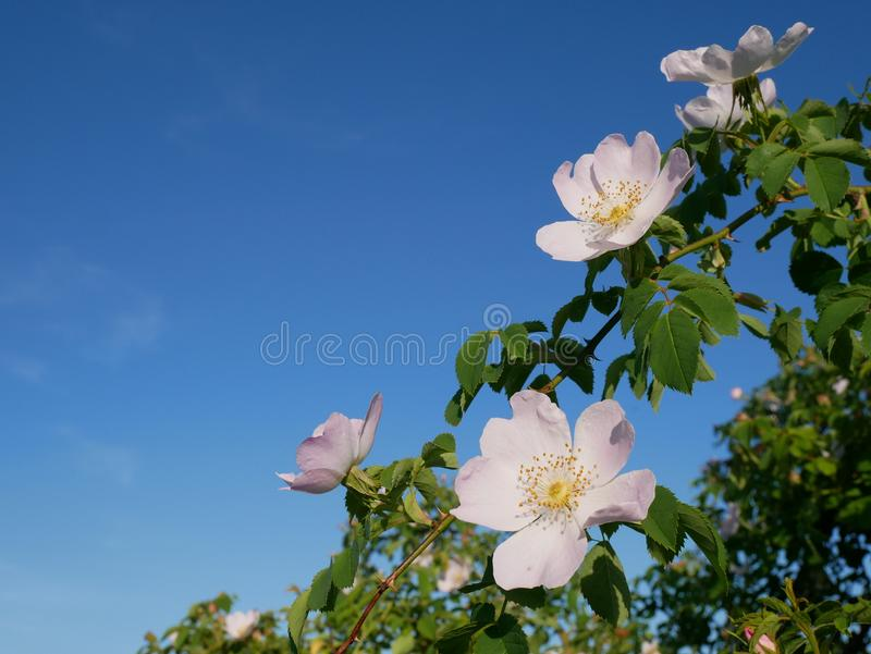 Pink Flower. Pink wild rose or dogrose flowers with leafs on blue sky background. Dog Rose Close-up: Pink Flower. Pink wild rose or dogrose flowers with leafs royalty free stock photography