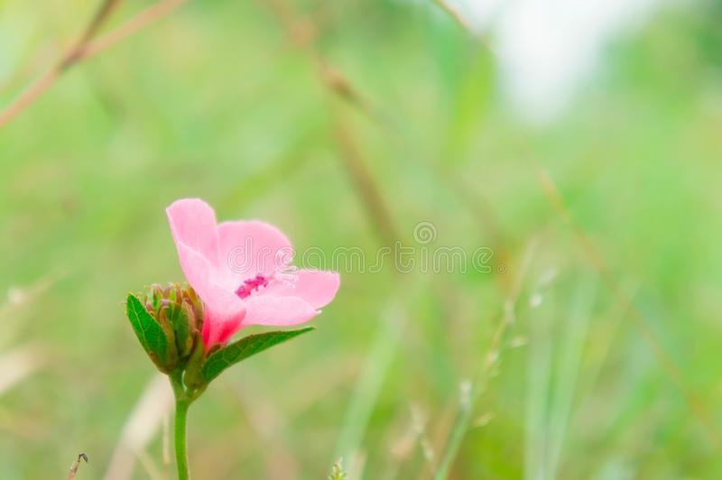 Pink flower plant blooming in the nature garden On a refreshing. Day stock photos