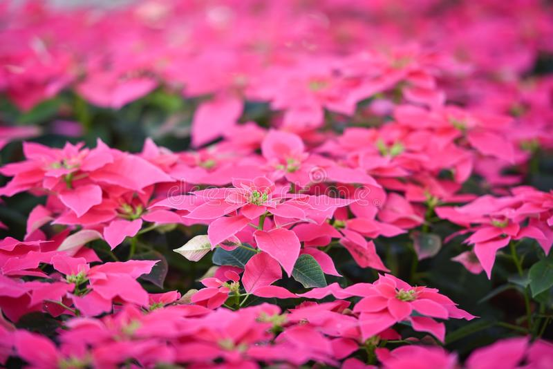 Pink flower Poinsettia pink plant royalty free stock image