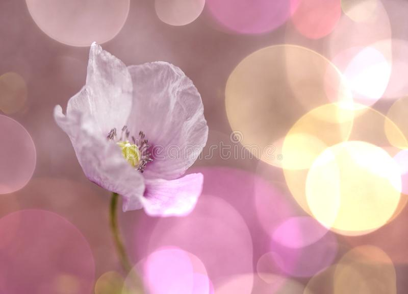 Pink flower poppy close-up macro bokeh background. Blossom glitter beautiful colors royalty free stock photography