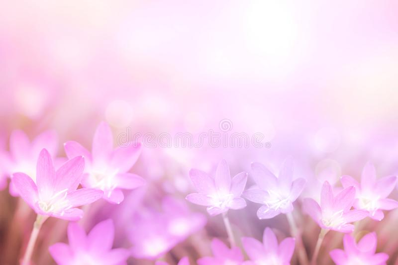 Pink flower rain lily in pastel purple tone with bokeh background stock image