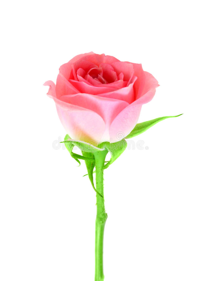Pink flower of rose on a green stalk. Single pink flower of rose on a green stalk. Isolated on white background. Close-up. Studio photography stock photos