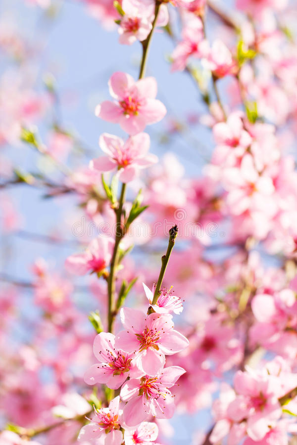 Pink flower spring blossom on a beautiful cherry tree branch on royalty free stock photo