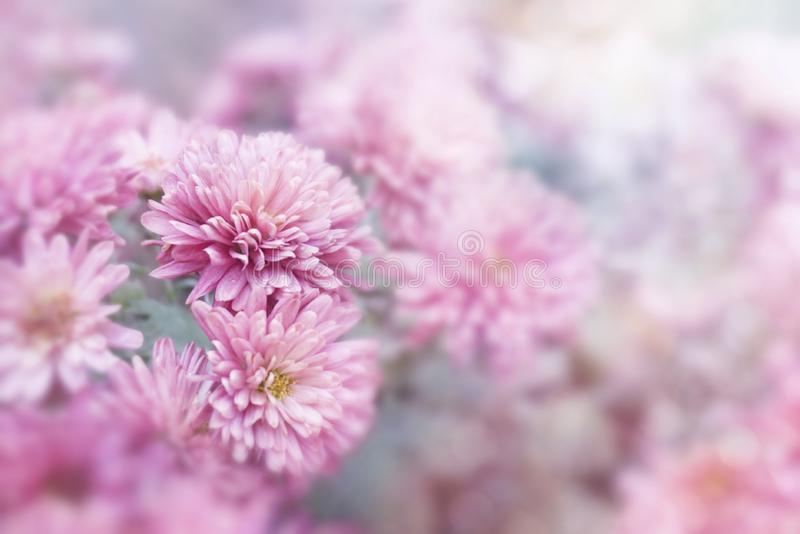 Pink flower in spring season background for Valentine`s Day stock photography