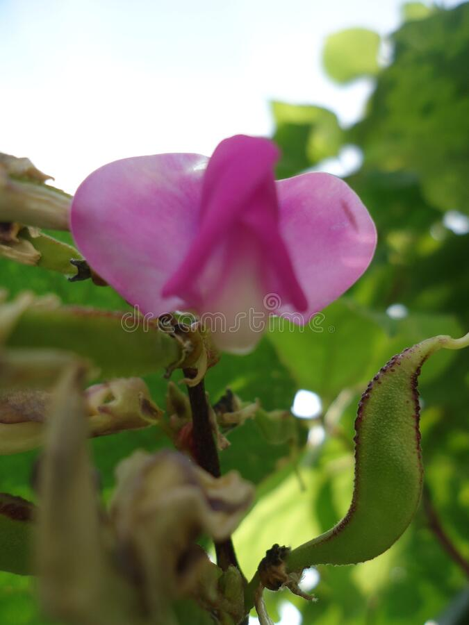 Pink Flower with starfish leaves in Nepal. Pink color flower with starfish leaves in Nepal. It is beautiful and lovely stock photography