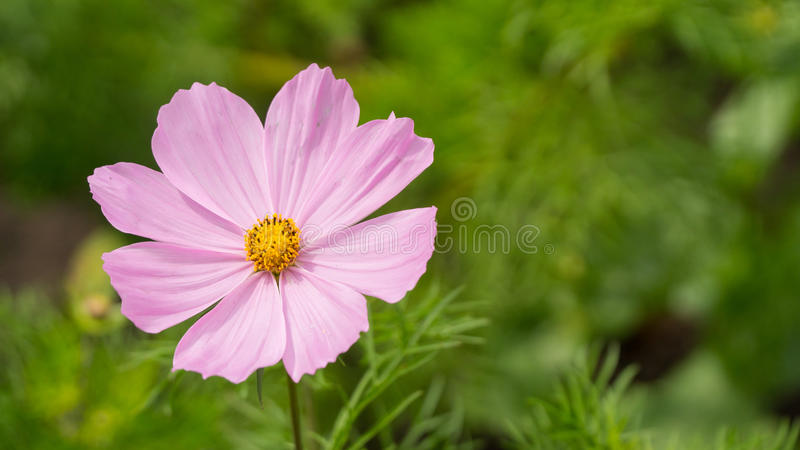 Pink flower in Sunny weather stock photos