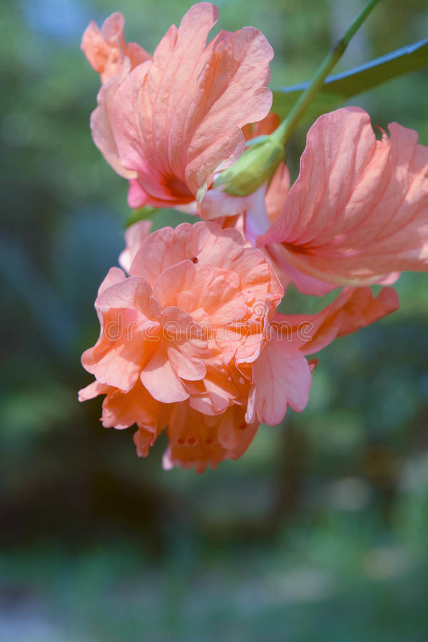 Pink flower in Thai 2 stock photography