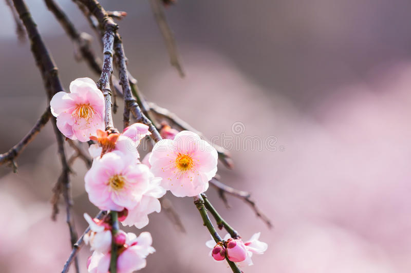 Pink flower ume blossoms. stock photos