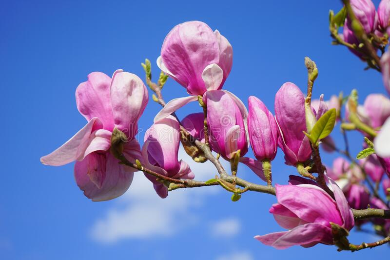 Pink Flower Under Blue Sky during Great Sunny Day royalty free stock photography