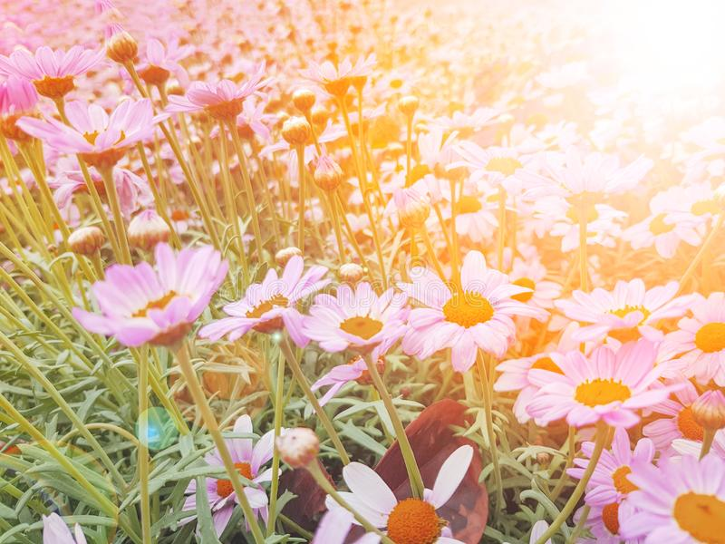 Pink flower,  Unfocused blur pink flower petals, abstract romance background, pastel and soft flower with the sunshine royalty free stock photos