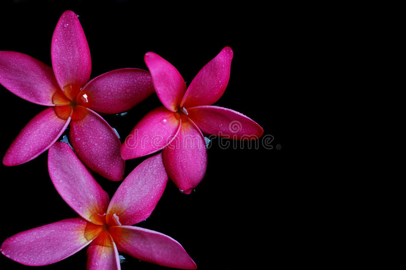 Pink flower on water stock photo