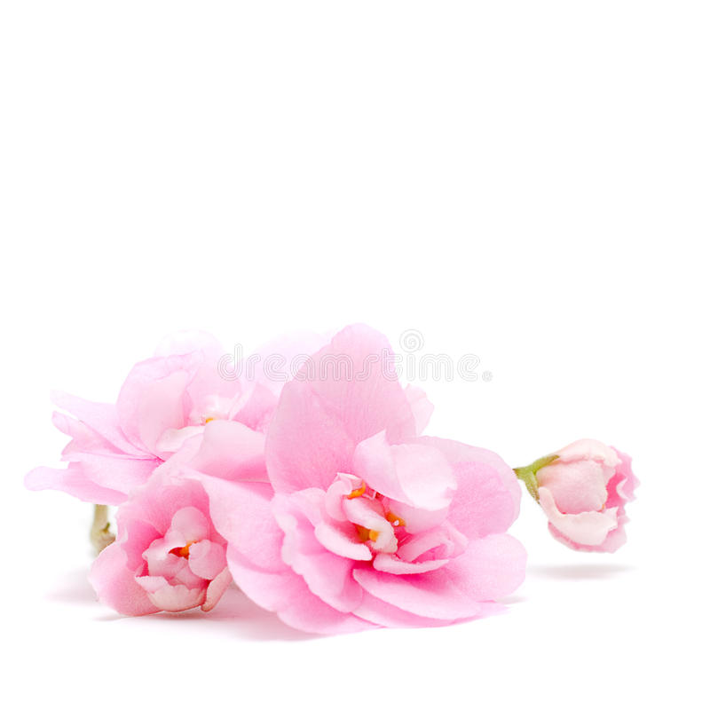 Pink Flower on white - floral background royalty free stock photography