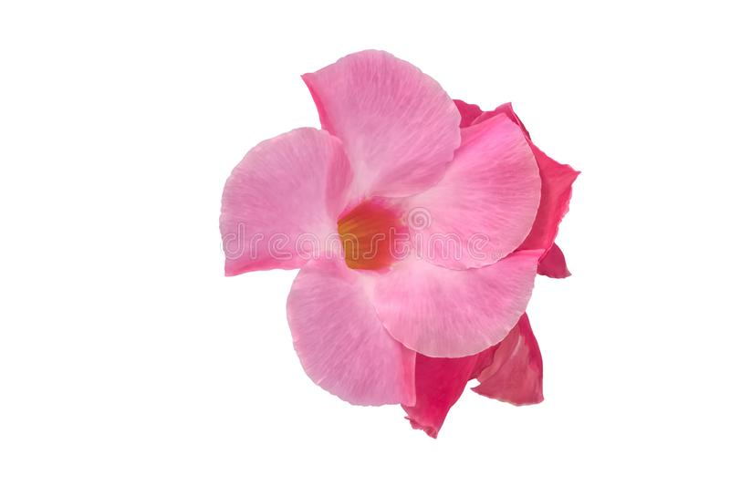 Pink flower on white royalty free stock photo