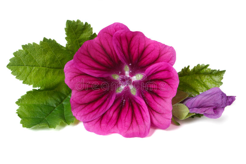 Pink flower wild mallow with a bud close-up isolated royalty free stock image