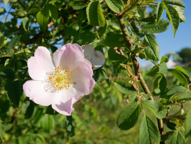 Pink Flower. Pink wild rose or dog-rose flowers with leafs royalty free stock photo