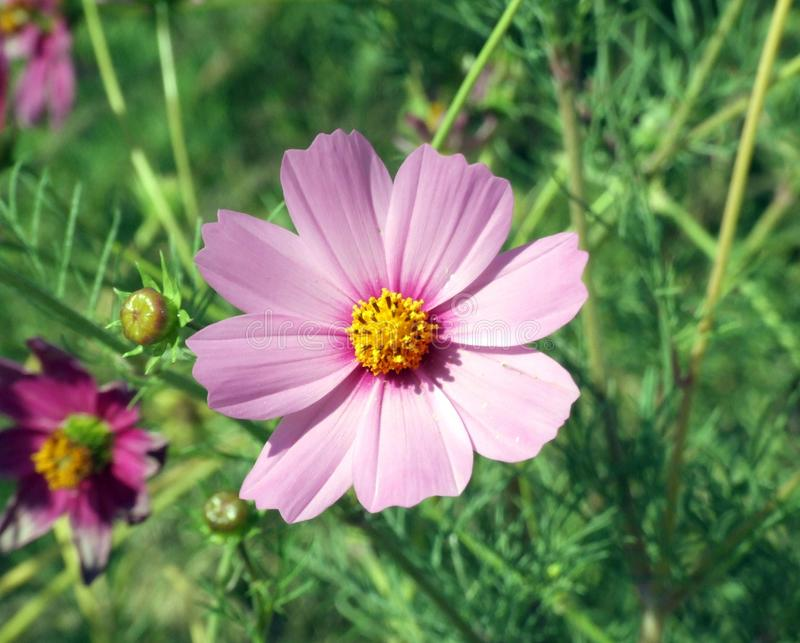Pink flower with yellow center on grass background stock image download pink flower with yellow center on grass background stock image image of beautiful mightylinksfo