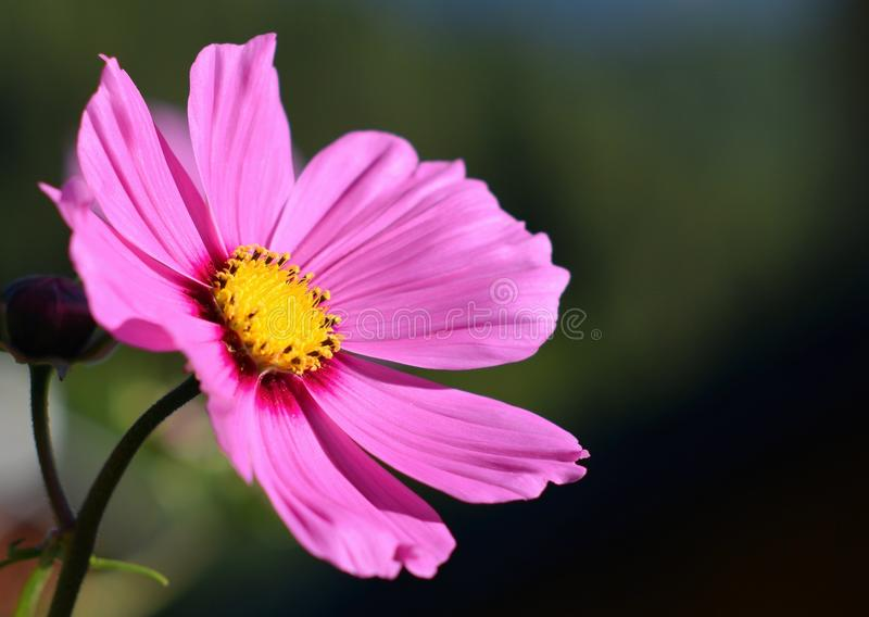 Pink flower with yellow pistils stock photo
