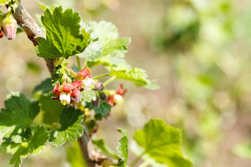 Pink flowering currant. currant begins to bloom royalty free stock image