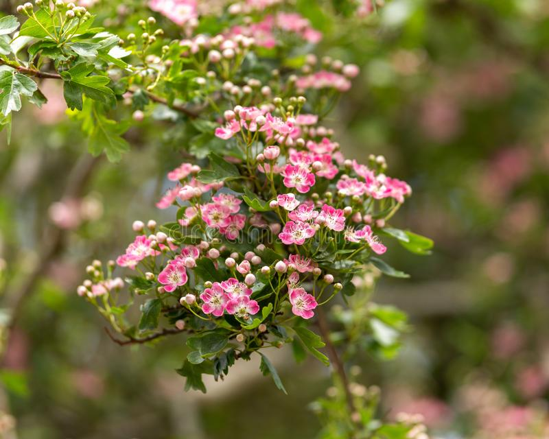 Pink flowering English Midland Hawthorn, Crataegus oxyacantha, laevigata blossom. Medical plant bush royalty free stock photos