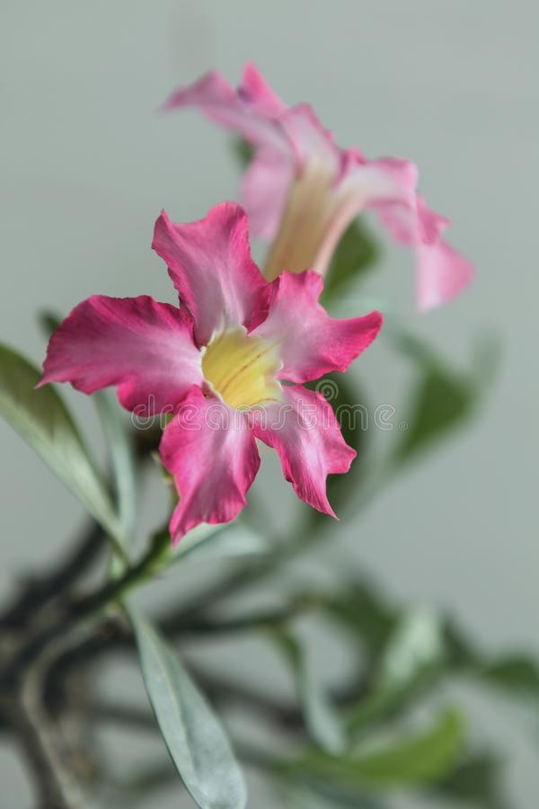 Pink Flowering Plant. Adenium obesum also known as desert rose in portrait stock image