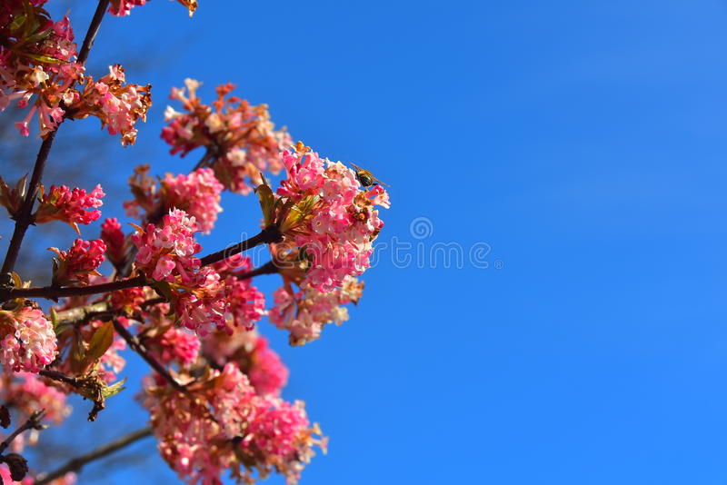 Pink flowering plant on a blue sky background. Spring season flowers portrait isolated stock photo