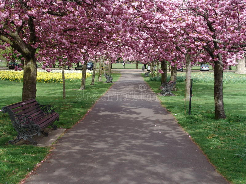 Pink flowering tree lined path